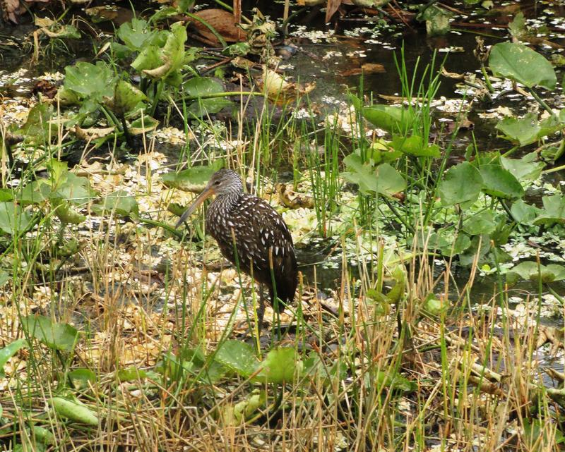 A limpkin takes it all in