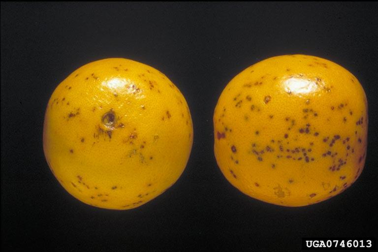 Citrus Black Spot on Valencia oranges