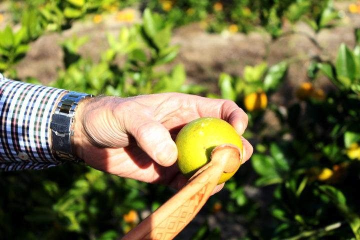 The Florida citrus industry has been locked in a decade-long battle with citrus greening disease.