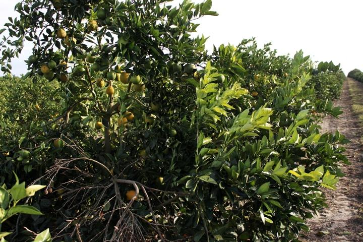Florida's citrus production is expected to hit a 73-year low following Hurricane Irma.