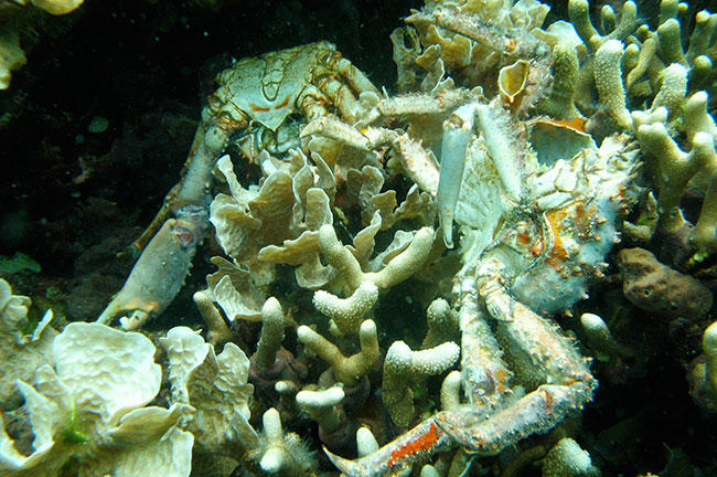 Low oxygen caused the death of this coral in Bocas del Toro, Panama. The dead crabs (right foreground, left background) also died because of the loss of dissolved oxygen.