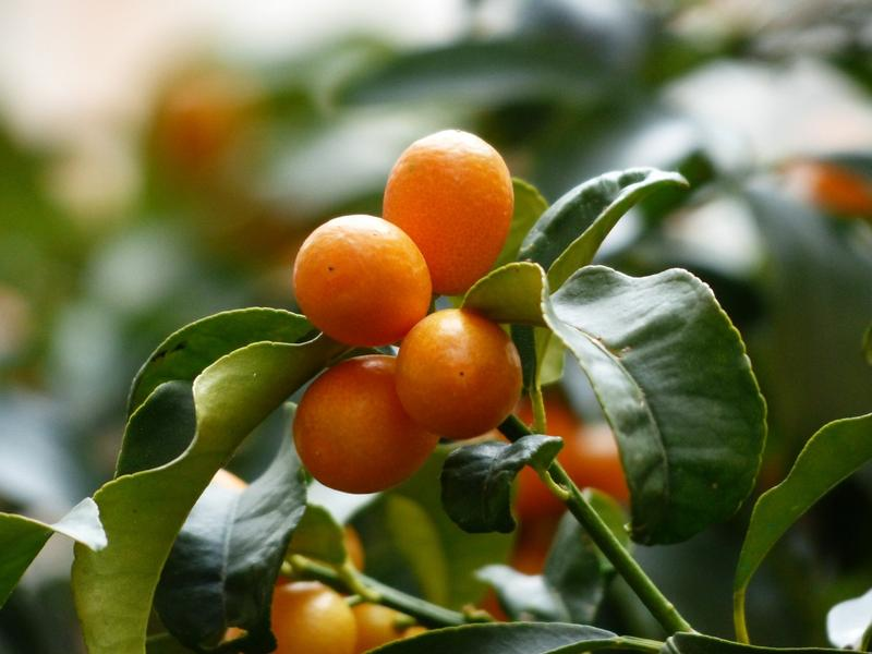 Kumquat is a citrus fruit that look like olive-sized oranges. It is the only citrus fruit eaten whole.