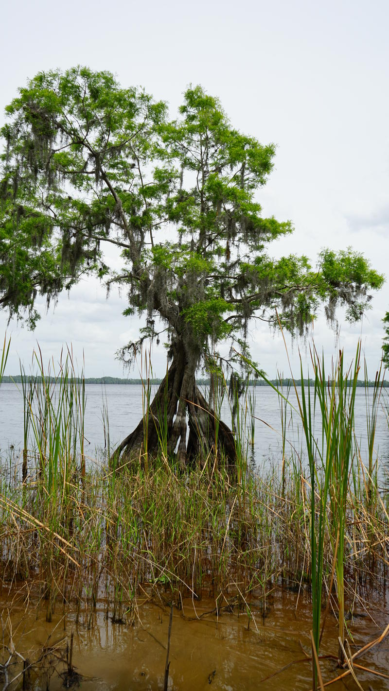 A cypress tree just off the shores of Lake Russell.