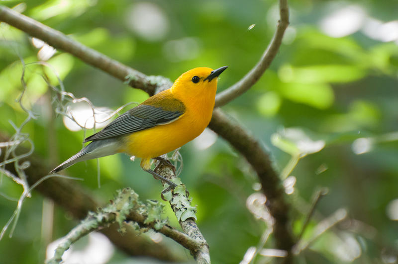"Prothonotary Warbler, or as Mary Keith with the Tampa Audubon Society calls it, ""flying liquid gold."""