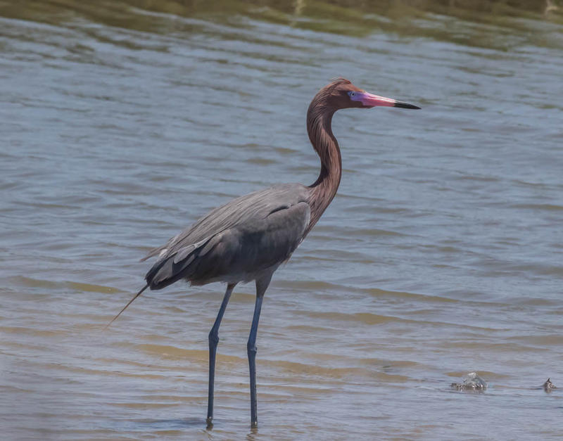The Reddish Egret often nests in colonies with other egrets on coastal islands.