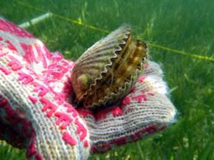 Scalloping in Florida is only allowed by hand or by using a net.