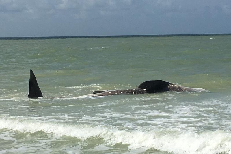 A dead whale shark washed ashore this past weekend in Sanibel Island.