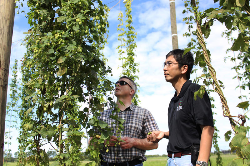 Hillsborough County Agribusiness Manager Simon Bollin and UF researcher Shinsuke Agehara survey a hops vine at the research farm near Wimauma.