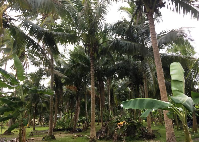 A wide variety of coconut palms are available at Coco Rico Farms.