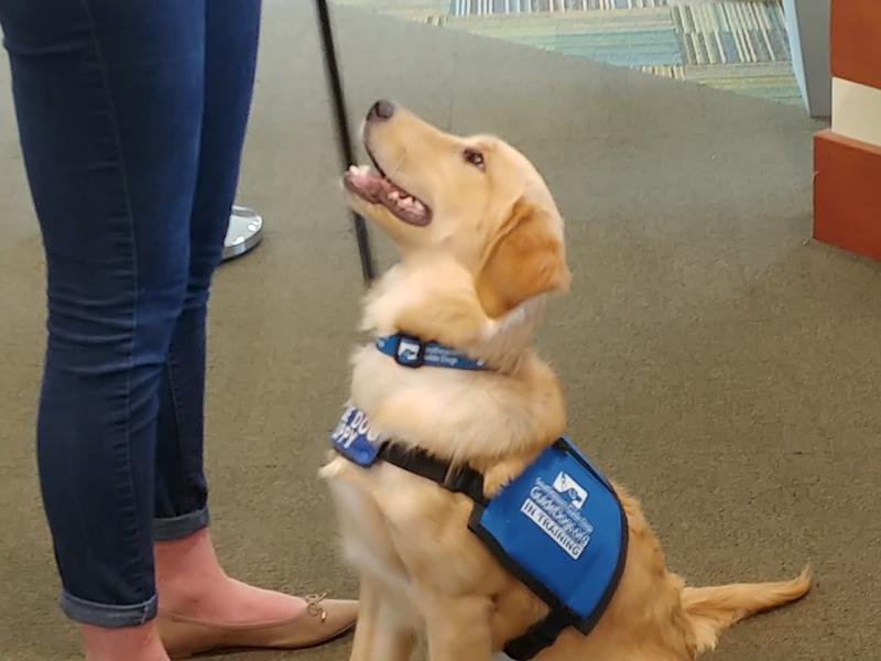 Finley, a five-month-old golden retriever, is being trained by USF student Meghan Watson for Southeastern Guide Dogs.