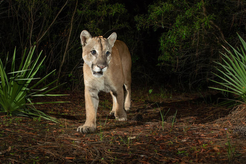 A male Florida panther hunts on Babcock Ranch State Preserve, where the first female panther was seen north of the Caloosahatchee River since 1973. Carlton Ward Jr. cites this preserve as an example of developers and conservationists working together.