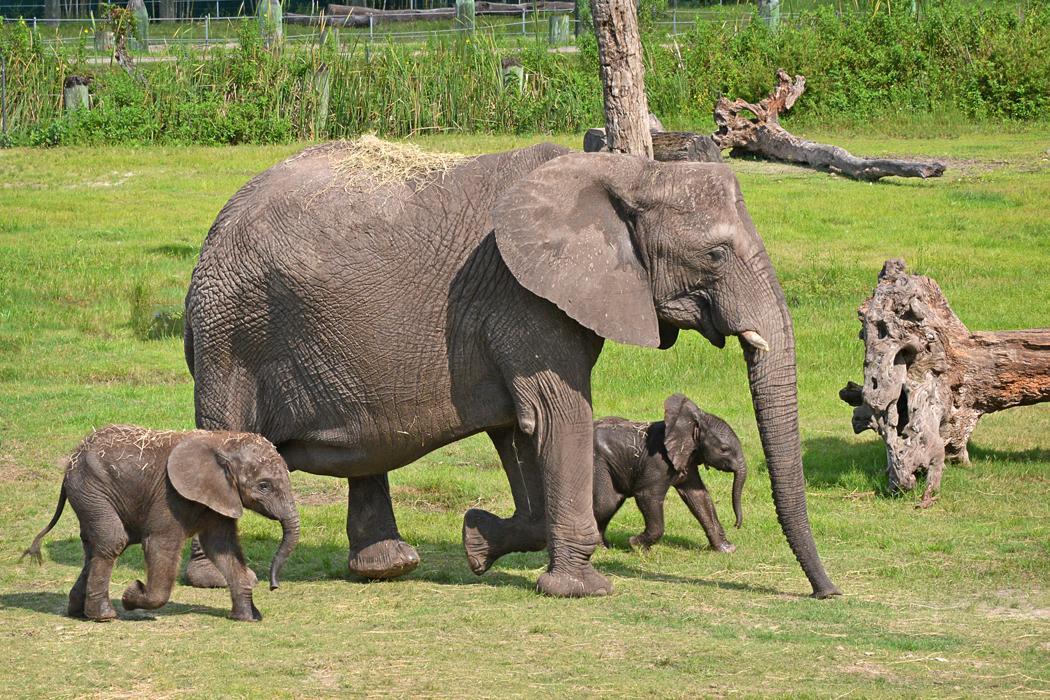 Cuteness Alert: Lowry Park Zoo's New Baby African Elephant ...