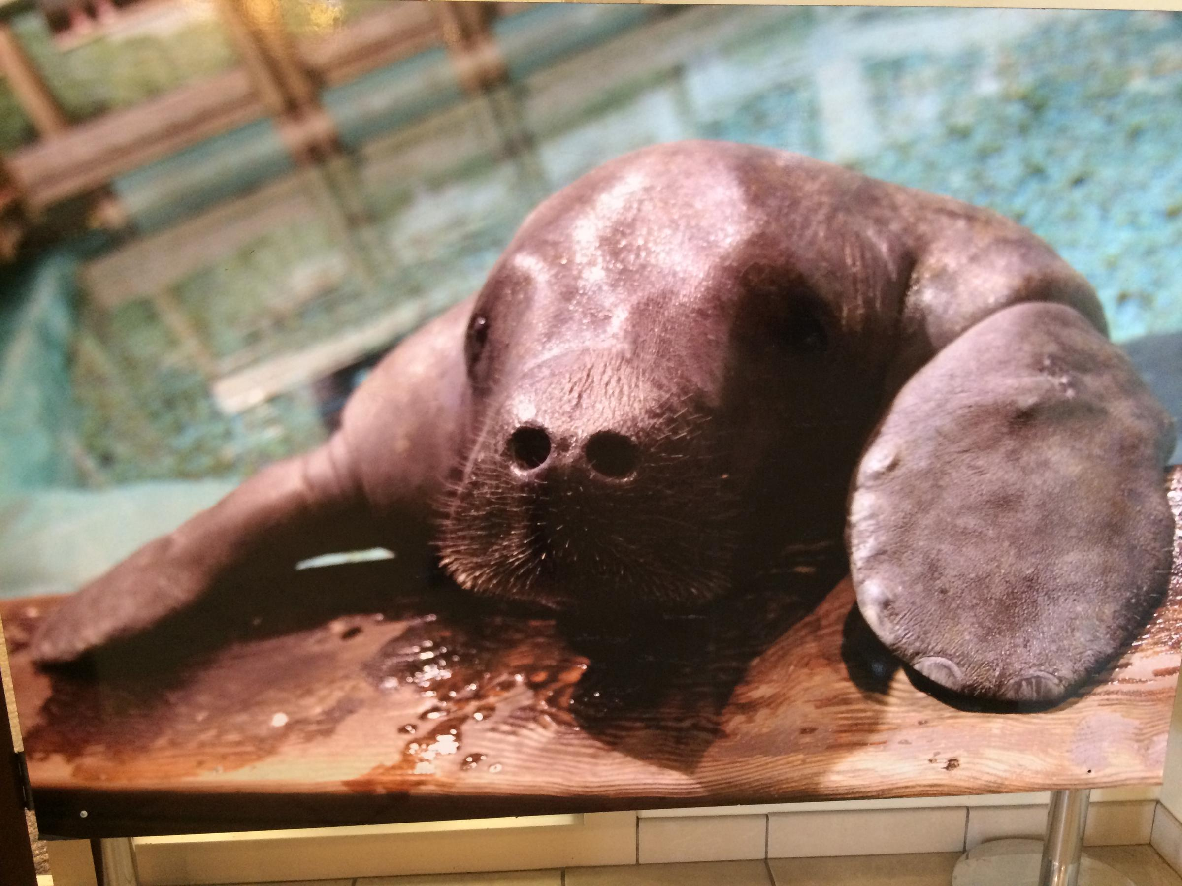 This poster of snooty was displayed at the south florida museum where the 69 year old manatee died on saturday