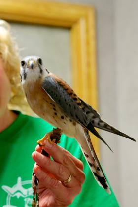 Gilbert is an American Kestrel and is cared for by Wings to Soar.