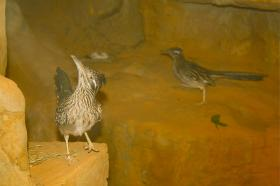 Acme and Meeks, a pair of roadrunners, look around their new home at the Chattanooga Zoo.