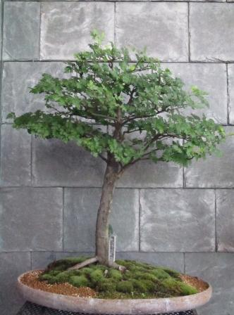 This Parsley Hawthorn tree, which is 50 years old, will be on display this weekend at the River Gallery, as part of an exhibit of bonsai trees.