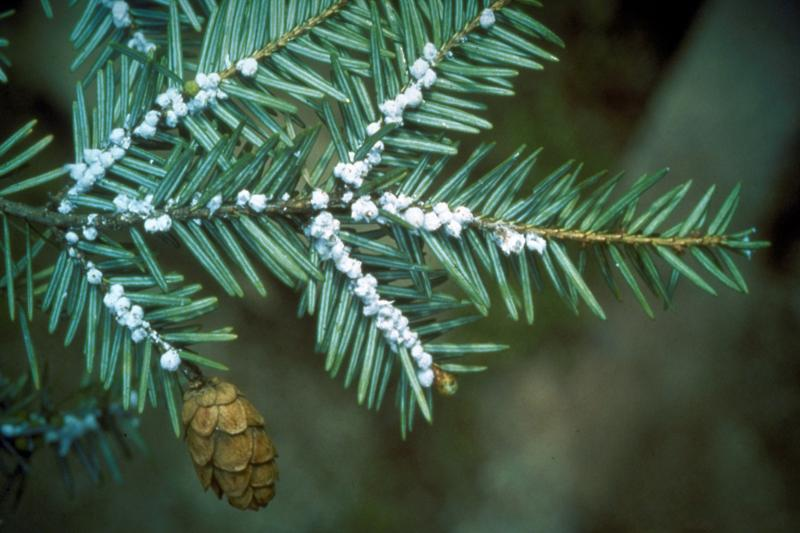 Adelgid egg sacs infest a Connecticut hemlock.