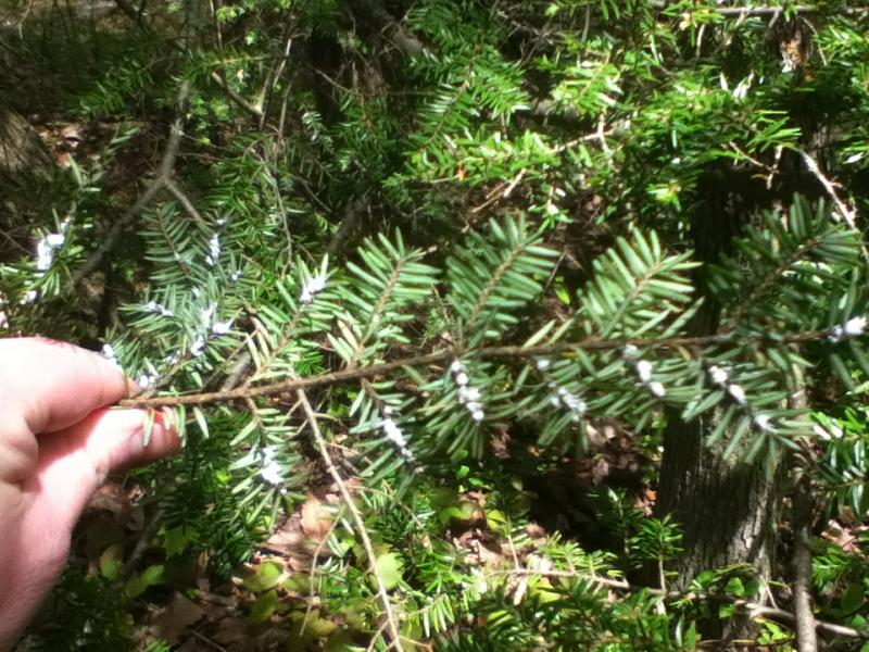 Small, white adelgid egg sacs on this Signal Mountain hemlock tree look like tiny balls of cotton.