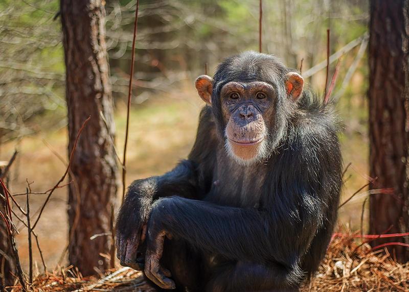 A chimpanzee named Loretta