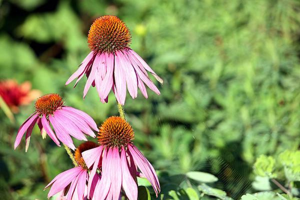 The purple coneflower is a native plant that's popular among East Tennessee natural landscapers.