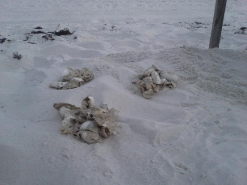 Many of the turtles made it to the Gulf unassisted and left behind their shells