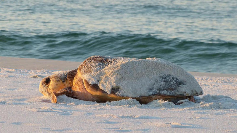 Sea turtle comes ashore to nest.