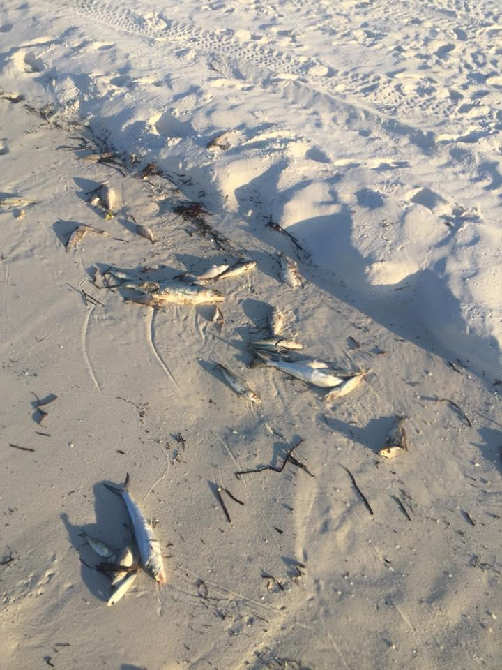 Fish kills and respiratory issues are common symptoms from a presense of red tide.
