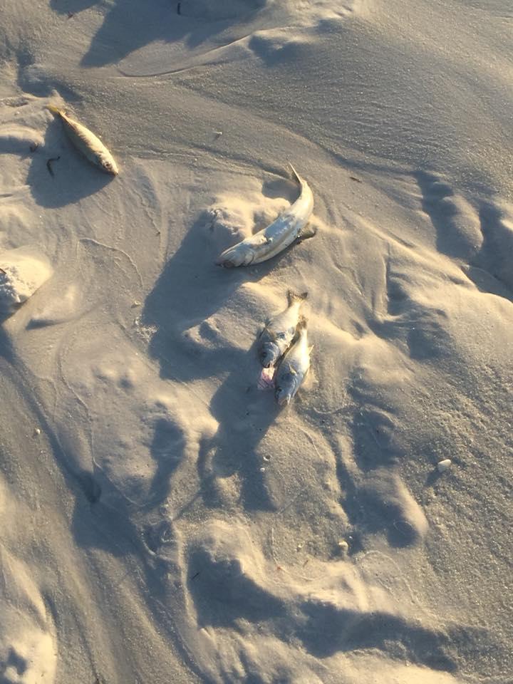 Dead fish line the shore of the beach in WaterColor.