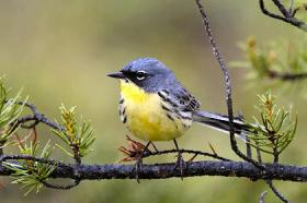 Jane Anklam doesn't rule out one day seeing the federally endangered Kirtland's Warbler on the currently fire-swept northwest Wisconsin landscape.
