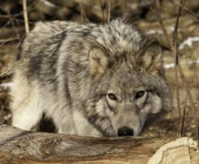 The state's Natural Resources Board has set rules for Wisconsin's first-ever wolf hunt.