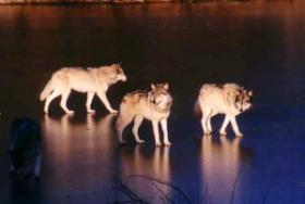 The state's first wolf hunt is underway.