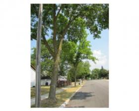 City ash trees protected by chemical injections
