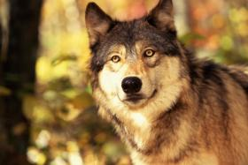Humane societies hope to bring down Wisconsin's first wolf hunt.