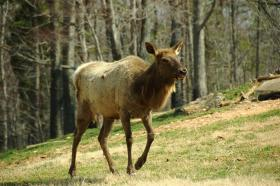 Researchers report more elk calves were born this year in northern Wisconsin than at anytime since the animals were re-introduced to the state.