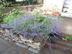 Overgrown Russian sage