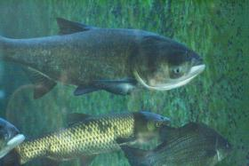 Asian carp could harm the Great Lakes in a number of ways. They could compete for food with native species. Silver carp can leap out of the water, possibly injuring boaters