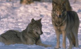 A UW researcher says Wisconsin's wolf hunts at their current levels are not sustainable.