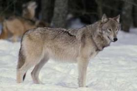 Wolf hunt permit application are down about 30 percent this year compared to the hunt's inaugural year.