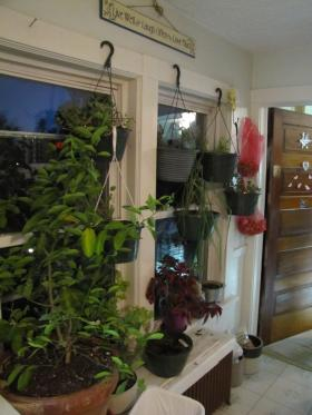 Happy dwarf lime tree (left) and herbs thrive in Baird's kitchen window.