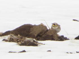 Horned Lark visiting a farm field in Ozaukee County
