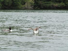 Loon chick tests out its penguin dance.