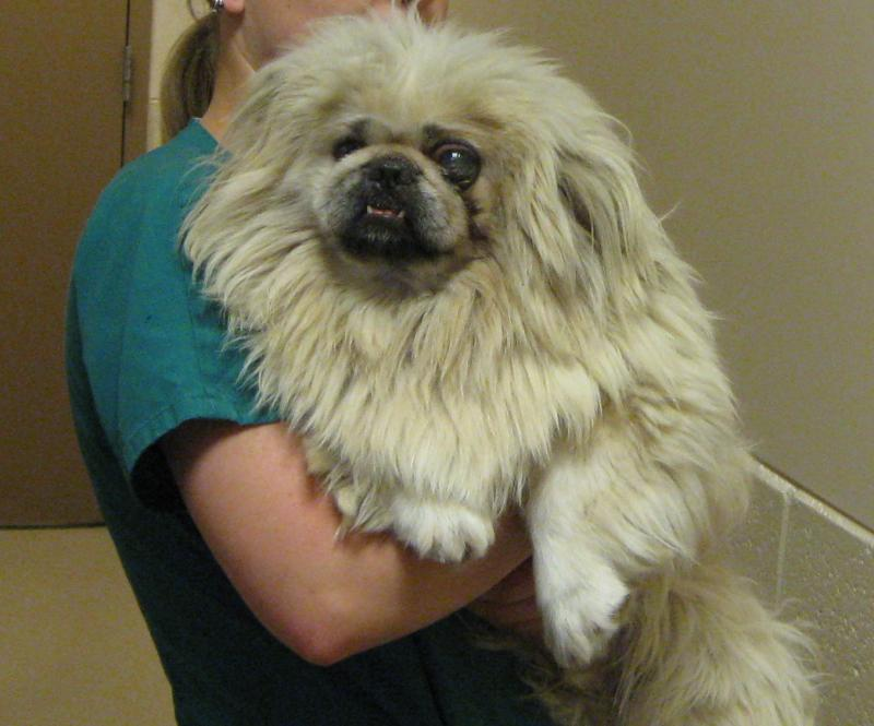 Matted Pekinese Arrives At Humane Society With Damaged Eye