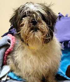Dirty Shih Tzu Who Needs A Bath
