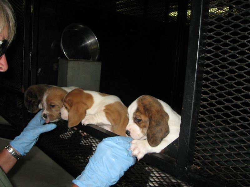"""Mini St. Bernards"" Developed At Puppy Haven"