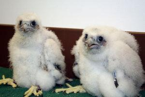 Peregrine chicks from the Malteurop nest