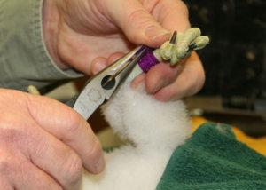ID bands are placed on a falcon chick's legs