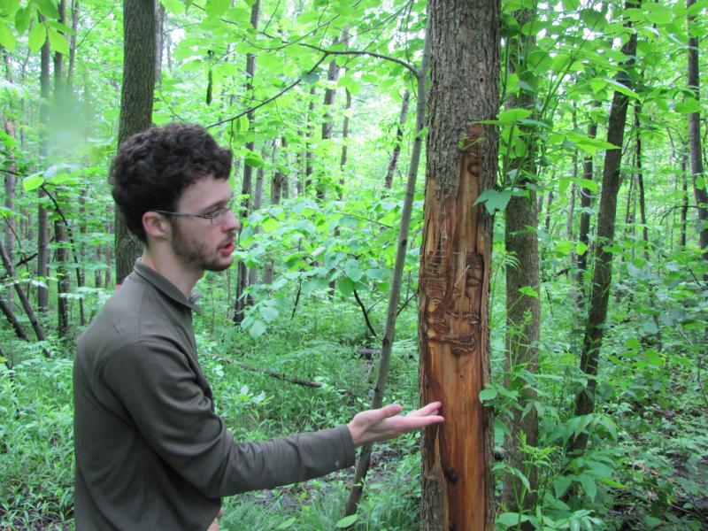 Johnson points out  ash tree hit by Emerald ash borer