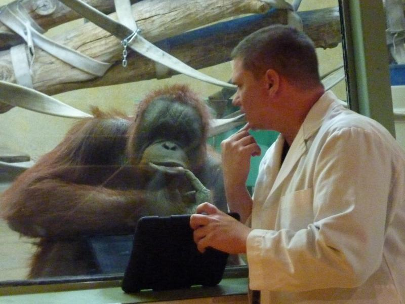 MJ the female orangutan plays with volunteer Scott Engel, while he shows her videos on his iPad.