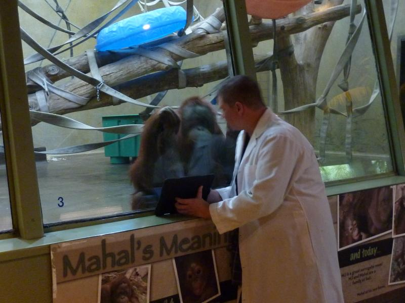 Baby Mahal is off playing somewhere, while volunteer Scott Engel shows MJ, the adult female orangutan, a video on the iPad.