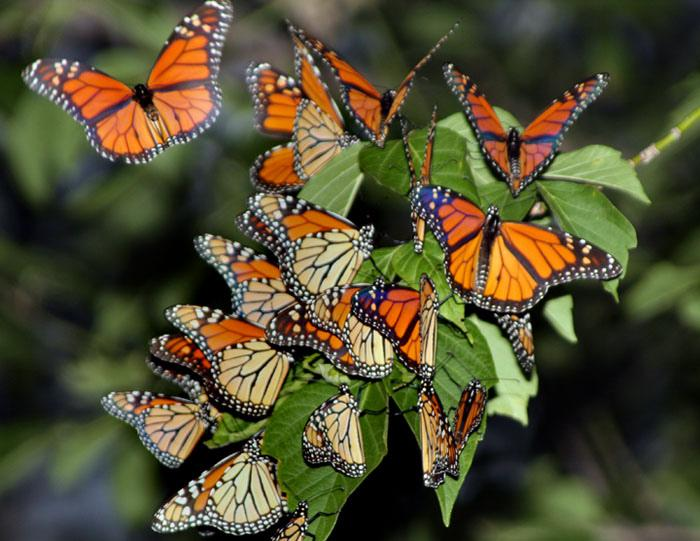 Monarch butterflies during annual migration, Monarch Trail